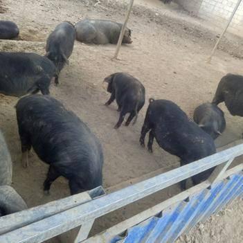 黑猪,藏香猪肉