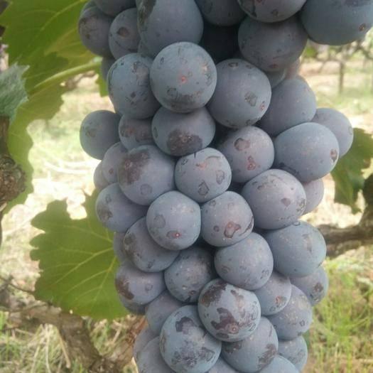 弥勒市早黑蜜葡萄 1.5- 2斤 5%以下 1次果