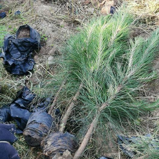 随县湿地松树苗 全国最大湿地松单品基地