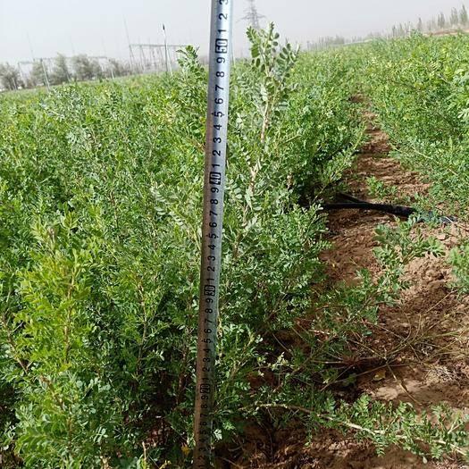 鄂尔多斯鄂托克前旗柠条苗 两年生柠条,地径0.3---0.5  高度30---50公分