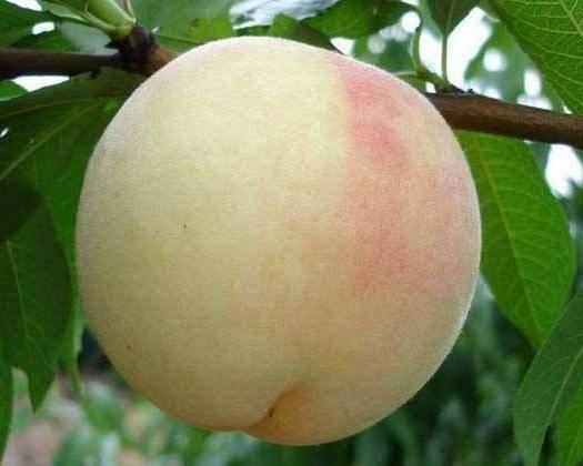 常州武进区 水果蜜桃阳山水蜜桃有机肥种植(预售)