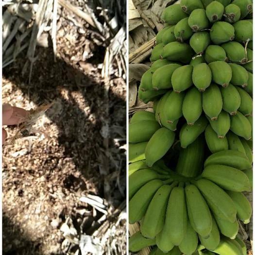 南宁 小米蕉产地直销9斤净果包邮,一手货源,支持一件代发
