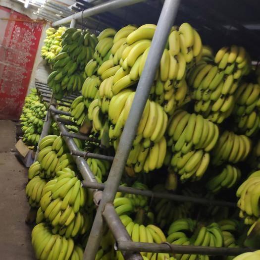 广州广东香蕉2号 八成熟