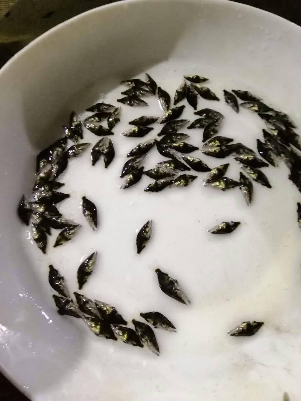 桂鱼苗1.5-2cm优惠促销
