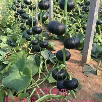贝贝南瓜种子 迷你超甜蜜香糥南瓜籽春季播种庭院瓜果