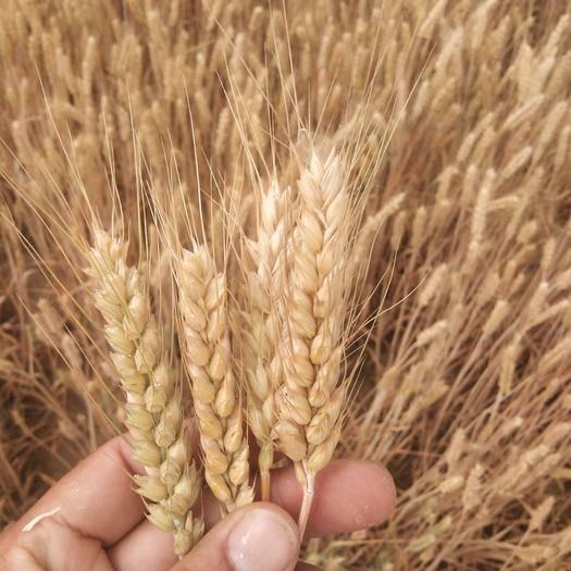 曹縣 純天然小麥  健康綠色食品