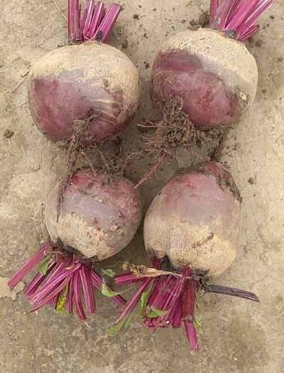 盐城阜宁县 新鲜红甜菜,单颗1斤左右,大小圆润!