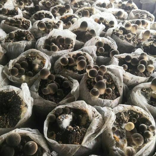 江苏省徐州市铜山区草菇 鲜货 2cm以上 人工种植