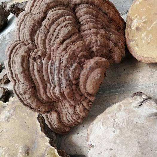 百色隆林各族自治县 生长在天然立木古树的木灵芝  老木菌   25公分以上统货