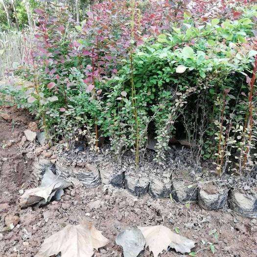 周至縣 營養缽,容器苗,紅葉小檗