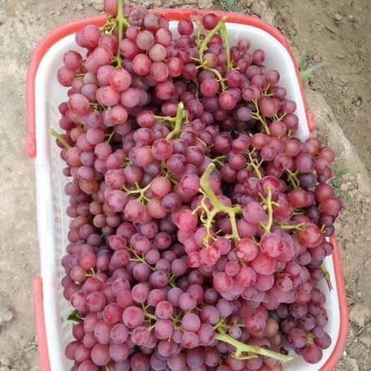 吐鲁番早夏无核 1.5- 2斤 5%以下 1次果