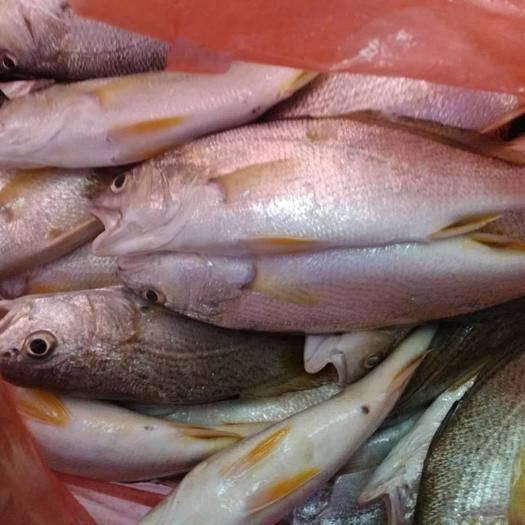 阳江江城区沙光鱼 新鲜海鱼