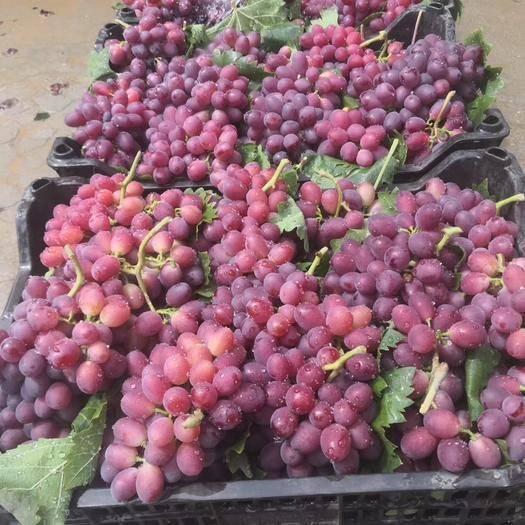 菏泽单县 甜葡萄大量上市
