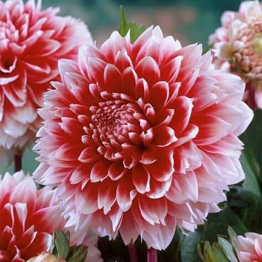 宿迁沭阳县大丽花苗 大丽花盆栽花卉 带花苞发货 花期长植物 多年生花卉 庭院