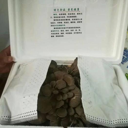 丹东东港市 宏天舞茸-最适合栗蘑生长的气候环境,产出最健康的美食