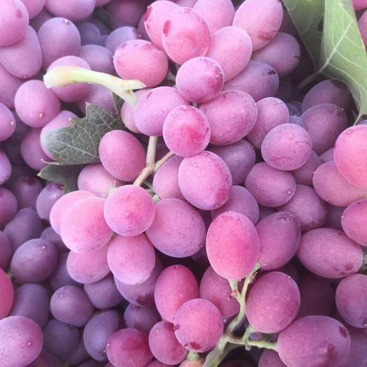 菏泽单县超早熟葡萄 1-1.5斤 5%以下 1次果