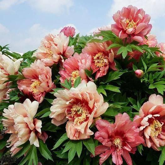鎮江丹陽市 芍藥花苗根塊種球百合郁金香四季開花種子室內植物