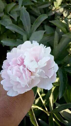 菏澤牡丹區美麗芍藥 0.5~1米 2cm以下