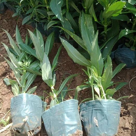 青州市假龙头种子 假龙头,常年供应各种绿化苗木。