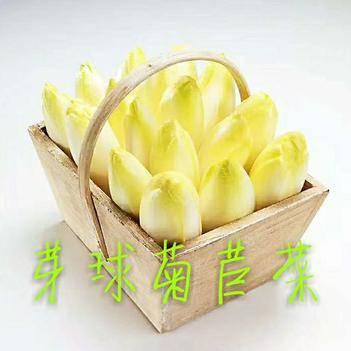 蔬菜芽球菊苣菜玉兰菜