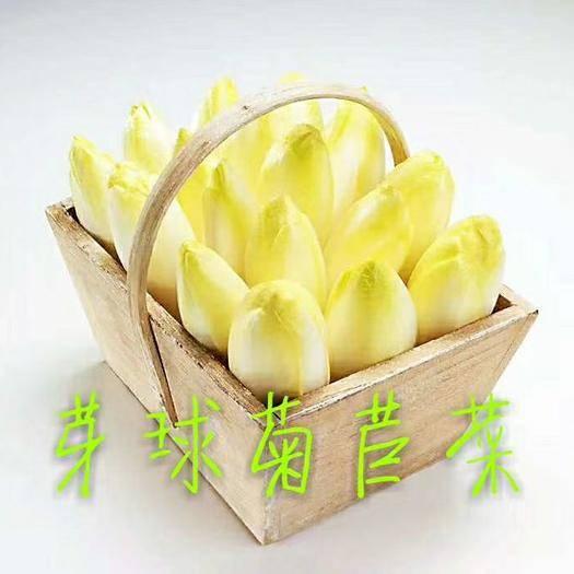 河北省保定市定州市 蔬菜芽球菊苣菜玉兰菜