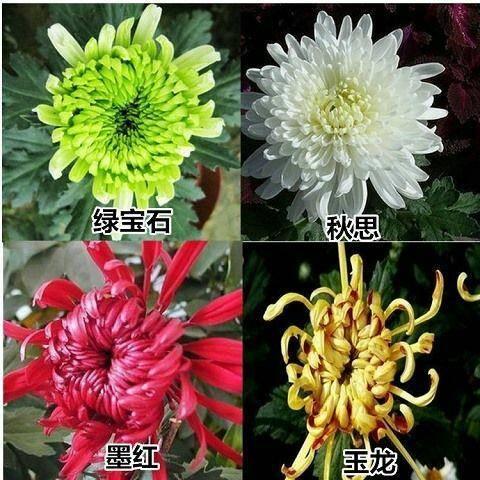 徐州丰县茶花苗 批发零售出售菊花小苗品种齐全 2.5元一棵基地直销