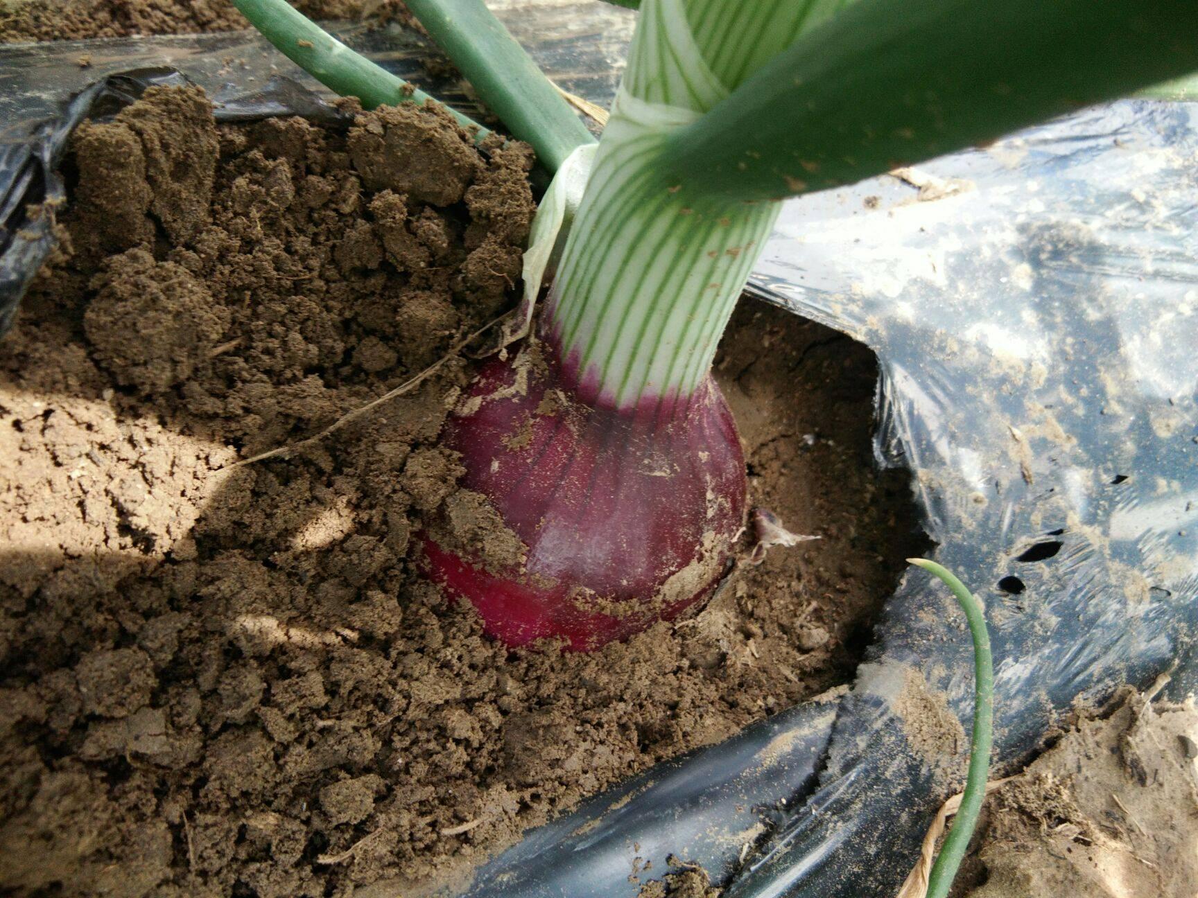 自家种紫皮洋葱红博个大皮色好适合走市场,储存7月中旬上市