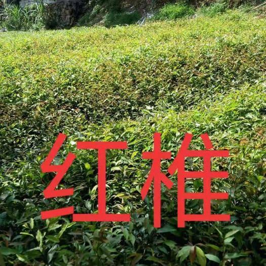 广州黄埔区红椎种子 红椎苗