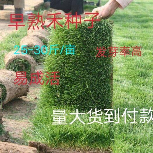 临沂平邑县 草坪种子 早熟禾种子 净籽 高产30斤/亩