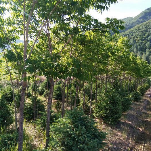 承德隆化縣 黃柏,樹皮可入藥,也可用于景區:居民區:道路兩測綠化。