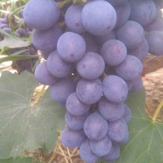 晋州市 早夏。葡萄