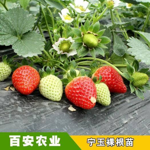 大邑县艳丽草莓苗 品种纯正无病害,包技术指导