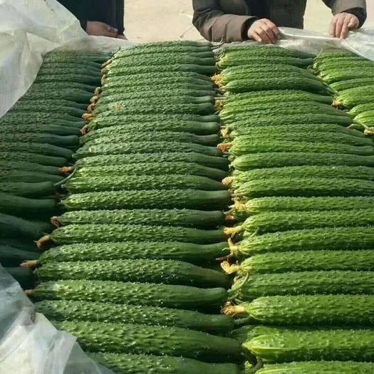 临沂兰陵县 精品密刺亮条黄瓜,量大质量高可配货发车,按要求打包物流全国