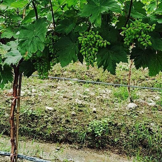 绥宁县 葡萄的生长阶段