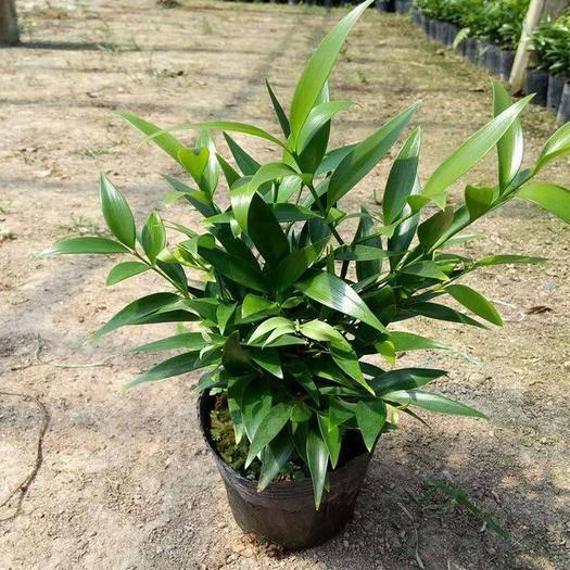 無錫 【原土發貨 30CM】竹柏盆栽