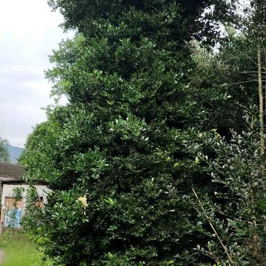漳平市 精品塔型竹柏,14至18公分。統一價750元。