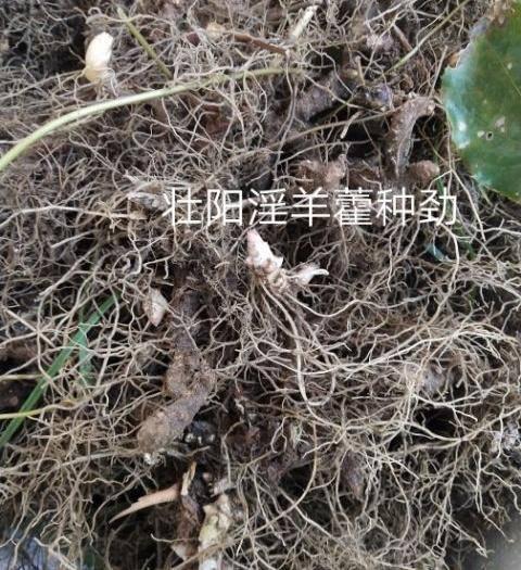 商洛商南县淫羊藿种苗 免费指导种植、管理、可包回收