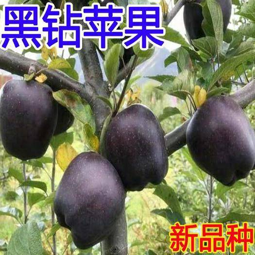 临沂平邑县 黑钻苹果树苗,嫁接苗,基地直供,现挖现卖,