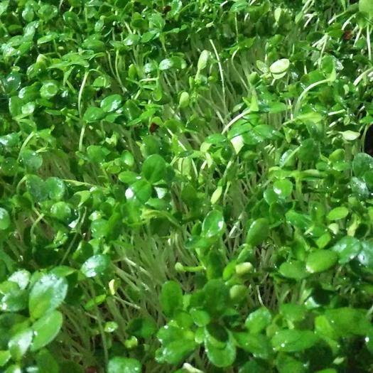 上杭县豌豆苗 水培不含添加剂,口感好。