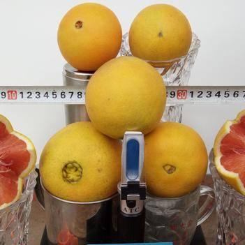 红肉脐橙苗 果肉红色,成熟后特别脆甜,当年试果,可见红色果肉,无假货