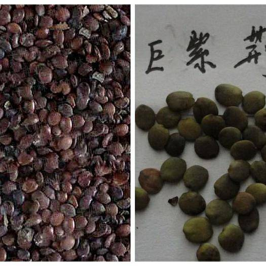 宿迁沭阳县 当年新采紫荆花种子 巨紫荆种子 羊蹄甲洋紫荆种子