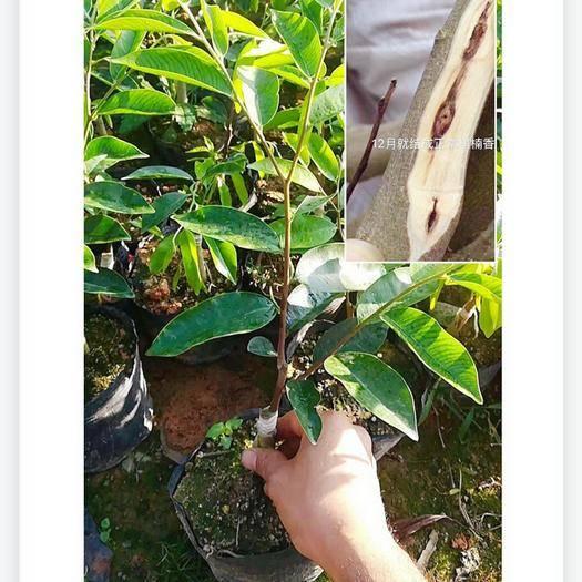 茂名電白區奇楠沉香樹 沉香奇楠苗 奇楠樹苗 成活率百分之九十 30至40公分高
