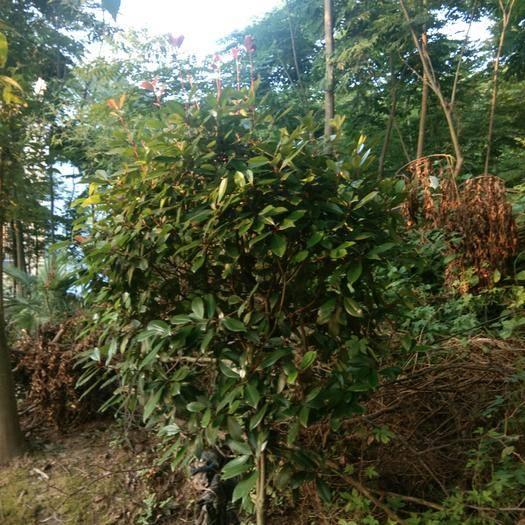 九江 紅葉石楠1米一1.5米高
