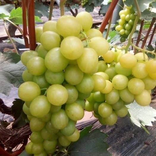青州市 超甜,果粒特大穗形好的贵妃玫瑰葡萄来了