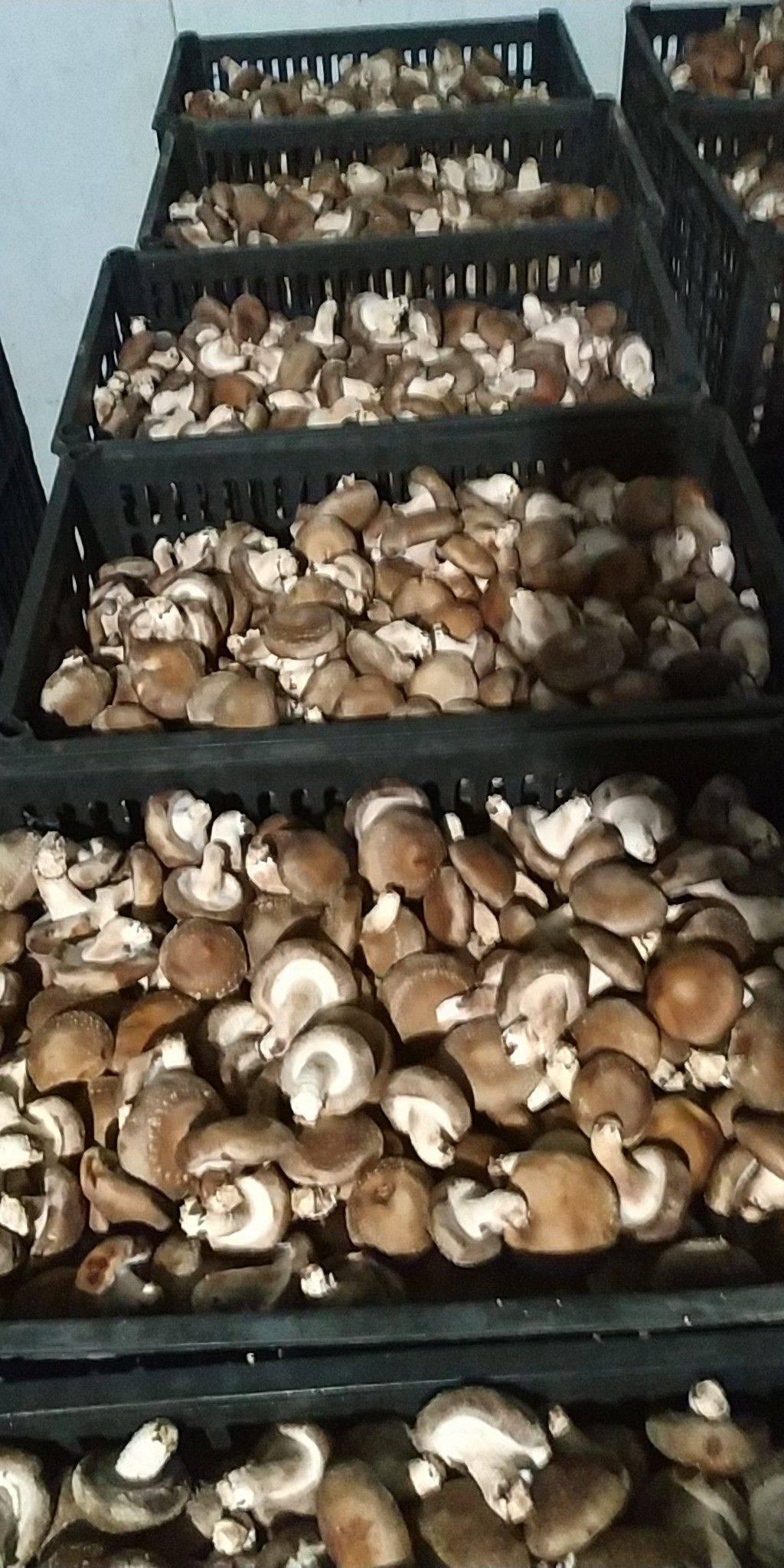 全国供应鲜香菇产地直销 代发 代购