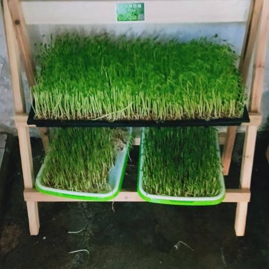 诏安县豌豆苗 纯水培,无化学农药,绿色健康食品