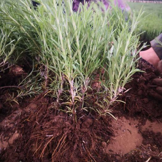 许昌禹州市迷迭香 一千万株小叶种苗供应