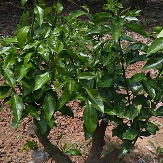 简阳市黄美人柑橘枝条 爱莎  也是华美1号是爱媛38和砂糖橘的杂交品种