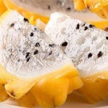 黄皮火龙果苗 新品种黄皮燕窝火龙果嫁接苗,也叫麒麟火龙果