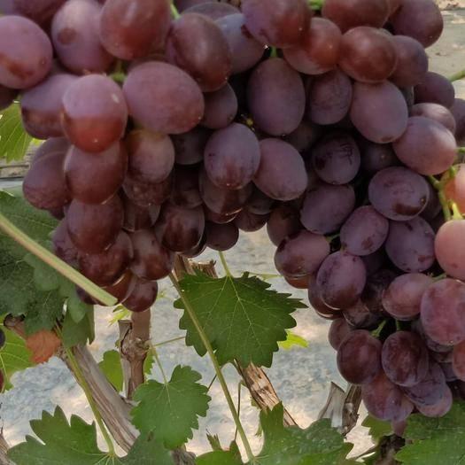 单县 红艳天葡萄是金华江文斌推广的优质品种,又叫早红提,胜过红提